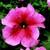 Petunias: Petunia Grandiflora, 'Bravo™ Salmon Vein'