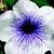 Petunias: Petunia Grandiflora, 'Bravo™ Silver Vein'