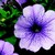 Petunias: Petunia Multiflora, 'Hurrah™ Blue Vein'
