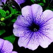 Petunia, Hurrah™ Blue Vein
