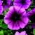 Petunias: Petunia Multiflora, 'Hurrah™ Coral Flare'