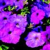 Petunia, Hurrah™ Lavender Tie Dye