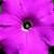 Petunias: Petunia Multiflora, 'Hurrah™ Pink'