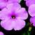Petunias: Petunia Multiflora, 'Hurrah™ Pink Chiffon'