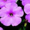 Petunia, Hurrah™ Pink Chiffon