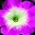 Petunias: Petunia Multiflora, 'Hurrah™ Pink Flare'
