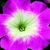 Petunia, Hurrah™ Pink Flare