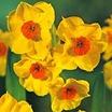 Daffodil, Tazetta 'Scarlet Gem'