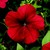 Petunias: Petunia Multiflora, 'Hurrah™ Red'