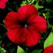 Petunia, Hurrah™ Red