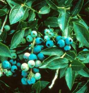 Blueberry, Northsky Super Hardy