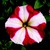 Petunias: Petunia Multiflora, 'Hurrah™ Red Star'