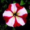Petunia, Hurrah™ Red Star