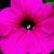 Petunias: Petunia Multiflora, 'Hurrah™ Rose'