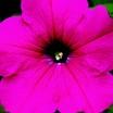 Petunia, Hurrah™ Rose
