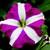 Petunias: Petunia Multiflora, 'Hurrah™ Rose Star'