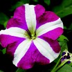Petunia, Hurrah™ Rose Star