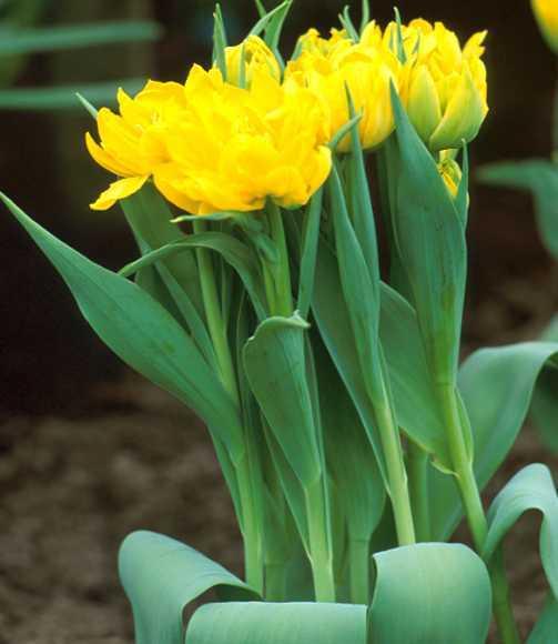 Tulips_tulipa_monte_carlo-4.full