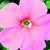 Petunias: Petunia Multiflora, 'Hurrah™ Salmon Chiffon'