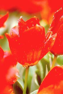 Tulips_tulipa_princeps-1.full