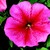 Petunias: Petunia Multiflora, 'Hurrah™ Summer'