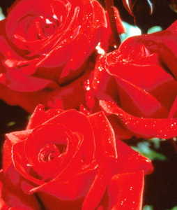 Rose, Grandiflora 'Crimson Bouquet'™