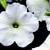 Petunias: Petunia Multiflora, 'Hurrah™ White'
