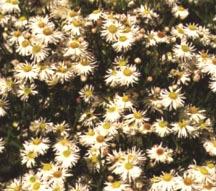 Starflower, 'Snowbank'