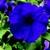 Petunias: Petunia Pendula, 'Plush™ Blue'