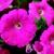 Petunias: Petunia Pendula, 'Plush™ Deep Pink'