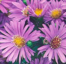 Aster, 'Wonder of Staffa'