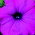 Petunias: Petunia Pendula, 'Plush™ Deep Purple'