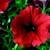 Petunias: Petunia Pendula, 'Plush™ Deep Red'