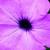 Petunias: Petunia Pendula, 'Plush™ Lilac Pearl'