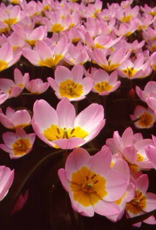 Tulips_tulipa_bakeri_lilac_wonder-1.full
