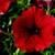 Petunias: Petunia Pendula, 'Plush™ Red'