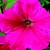Petunias: Petunia Pendula, 'Plush™ Rose'