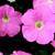 Petunias: Petunia Pendula, 'Plush™ Salmon'
