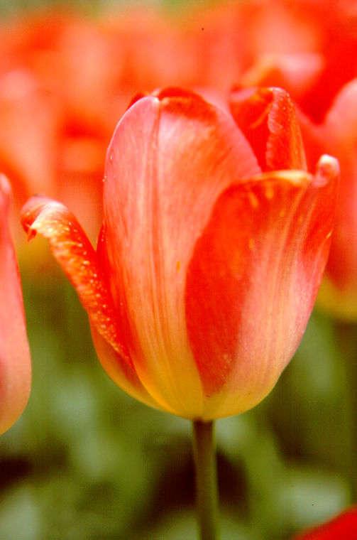 Tulips_tulipa_big_chief-1.full