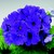 Primulas: Primula Obconica, 'Embrace™ Deep Blue'