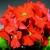Primulas: Primula Obconica, 'Embrace™ Deep Orange'