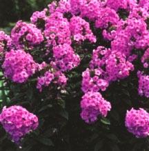 Phlox, Summer Garden 'Eva Cullum'