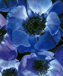 Anemone, 'Blue Poppy'