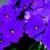 Primulas: Primula Obconica, 'Embrace™ Lilac'