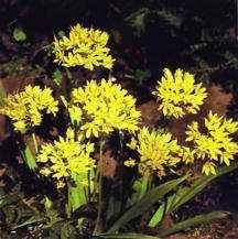 Alliums_allium_moly-1.full