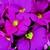 Primulas: Primula Obconica, 'Embrace™ Rose'