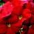 Primulas: Primula Obconica, 'Embrace™ Scarlet'