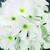 Primulas: Primula Obconica, 'Embrace™ White'