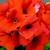 Primulas: Primula Obconica, 'Grace™ Deep Orange'
