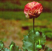 Poppy, Peony 'Flemish Antique'